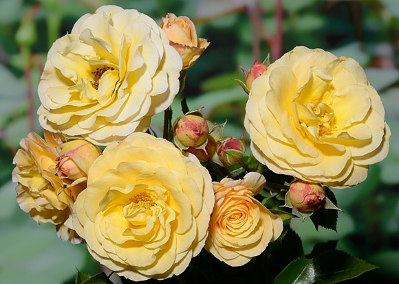 Rebecca Mary rose сорт розы фото