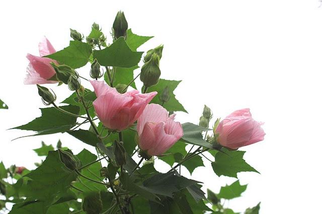 Y nghia hoa phu dung