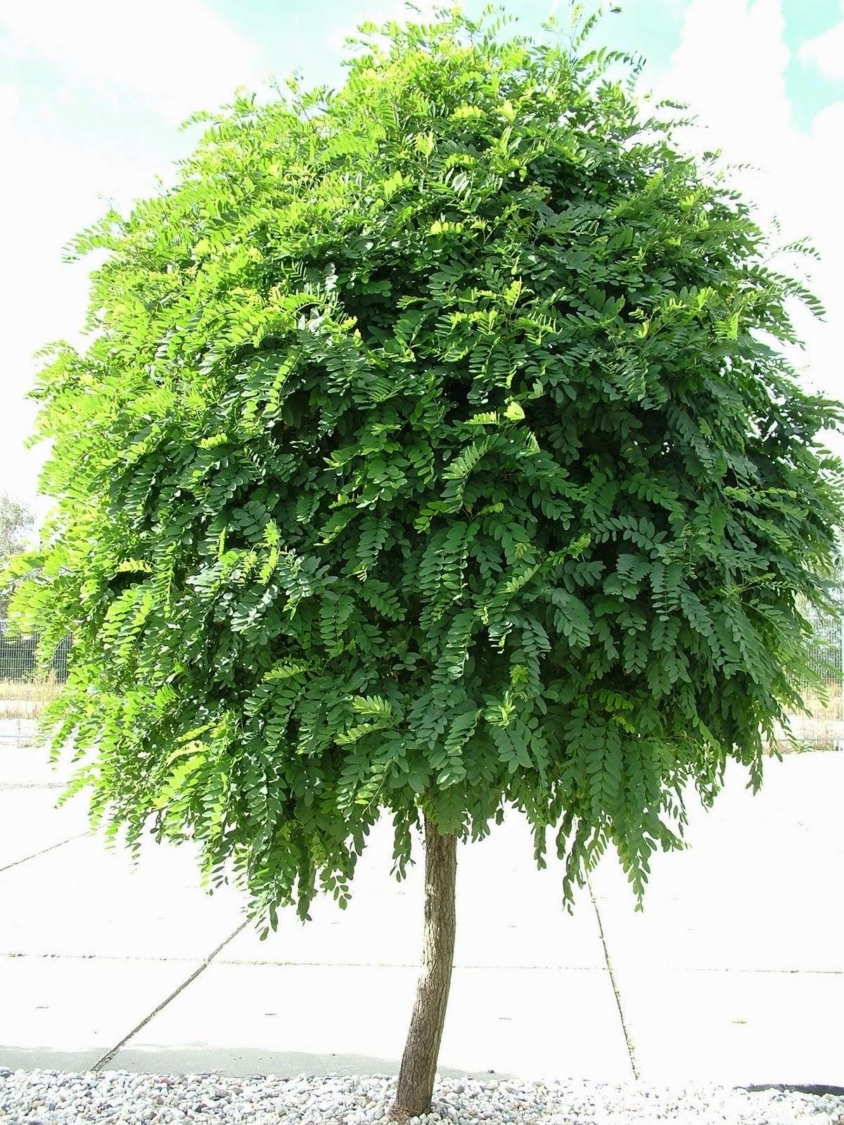 liliana usvat reforestation and medicinal use of the trees robinia pseudoacacia. Black Bedroom Furniture Sets. Home Design Ideas