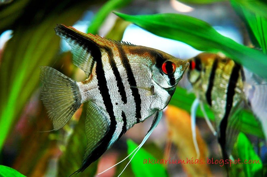Manfish - Jenis Jenis Ikan Hias Air Tawar Aquascape Paling Lengkap