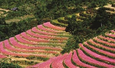 Hà Giang đẹp rạng rỡ với lễ hội hoa tam giác mạch 6