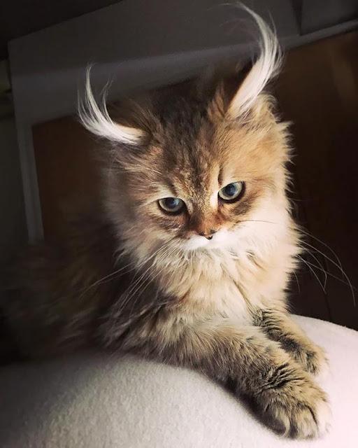 Gặp gỡ 16 mỹ nhân đẹp nhất vương quốc mèo