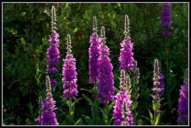 Nova Scotia; Flower; Lupine