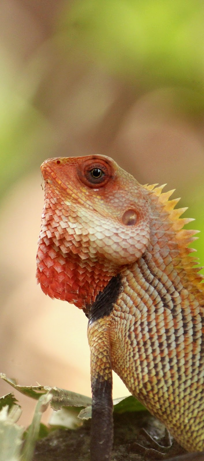 an oriental garden lizard - about wild animals