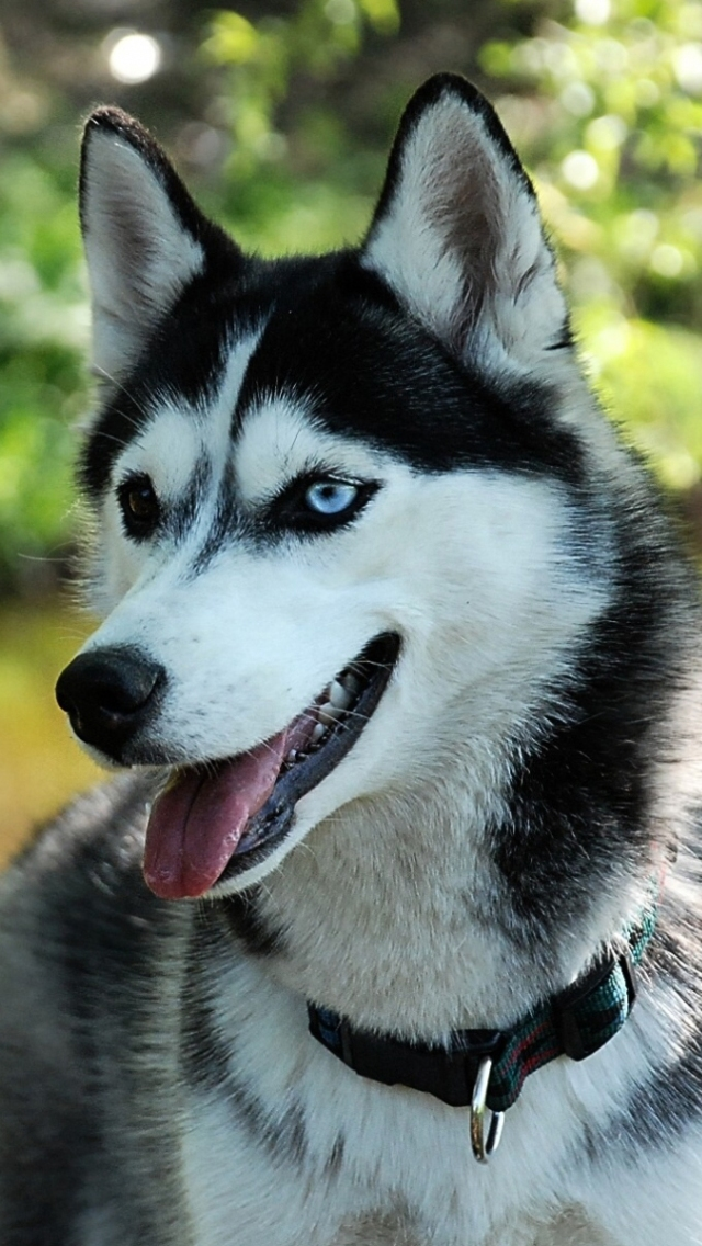 Hd Wolf Dog Wallpapers For Iphone 5