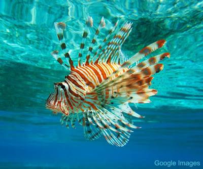 Lion Fish Atau Di Kenal Sebagai Ikan Lepu
