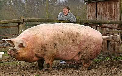 Resultado de imagem para porco gigante