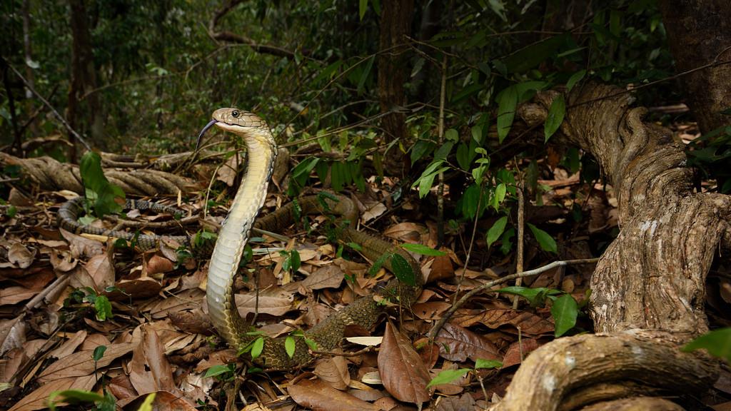 ular kobra