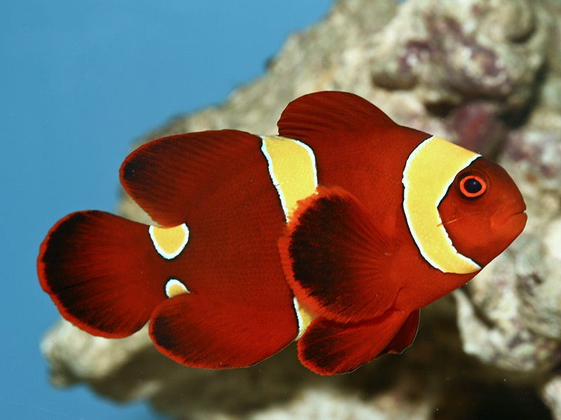 harga ikan hias badut air tawar