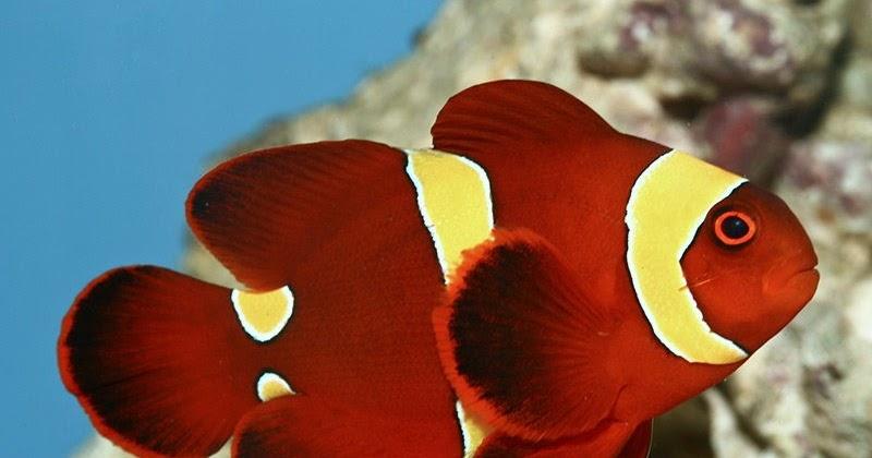 Jenis Ikan Nemo Terlucu dan Terlaris di Pasaran