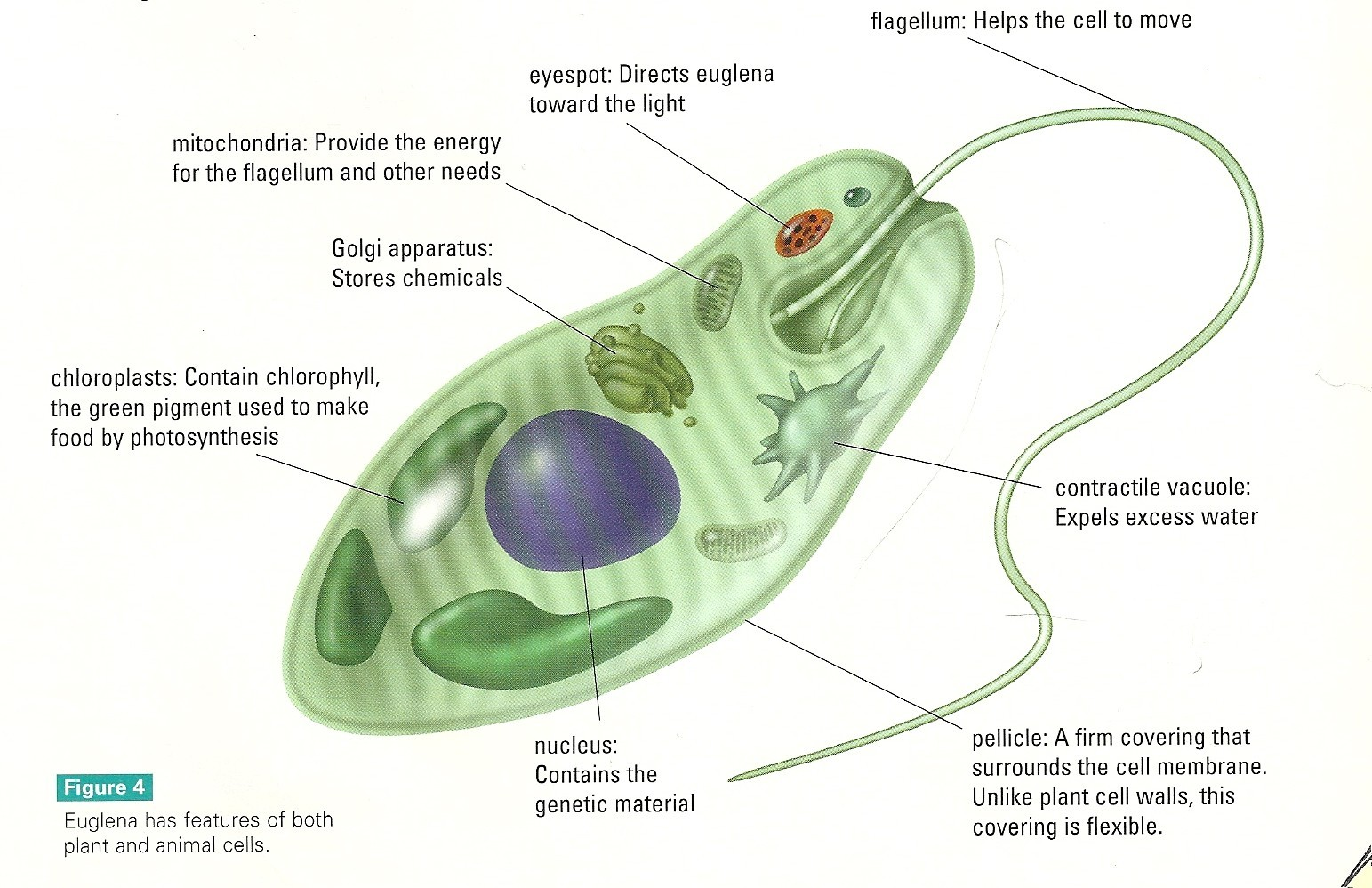 Euglena Cell Diagram With Labels Mtd Wiring Lawn Tractor Unit 3 Cells Tutorial Page Comelearnmore Comparison Of And Microscope Photograph Labeled