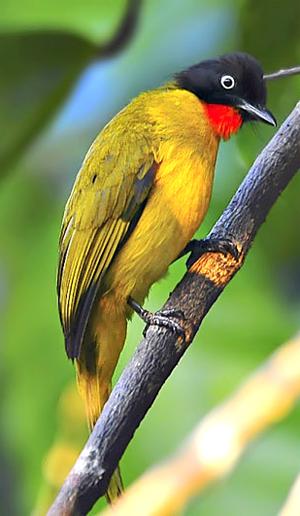 Burung Kutilang Emas Cara Merawat Kutilang Emas Anakan Pemasteran Foto Burung Kicau