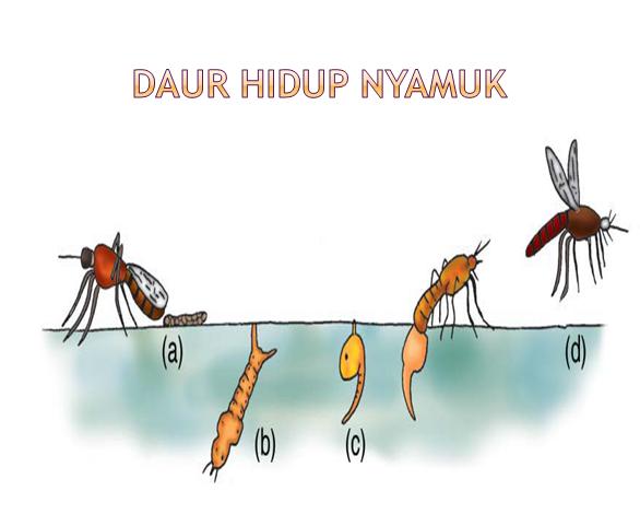 15++ Hewan berikut yang tidak mengalami metamorfosis adalah a kupu kupu b kucing c belalang d nyamuk terbaru