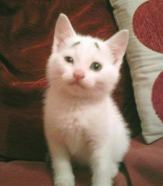 """Mèo con đáng yêu với """"khuôn mặt đáng thương"""" gây sốt """"thế giới ảo"""""""