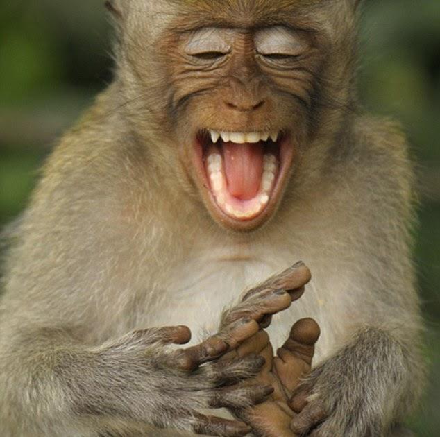 ivanildosantos gambar monyet ketawa
