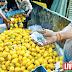 Beware of Carbide Mangoes Alert Report