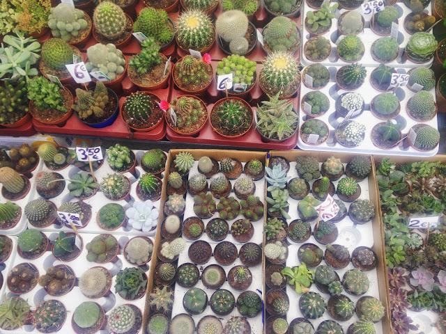 Cactii - plants and flowers - Lemon Tree Market, Guardamar del Segura