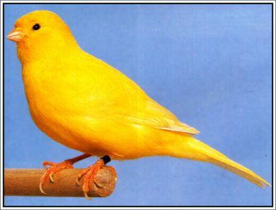 Dunia Kenari Jenis Jenis Burung Kenari