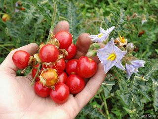 kolczasty pomidor nowość