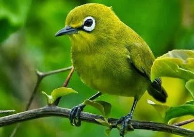 Tips Dan Cara Alami Mengobati Burung Pleci/Kacamata Yang Mengalami Mencret