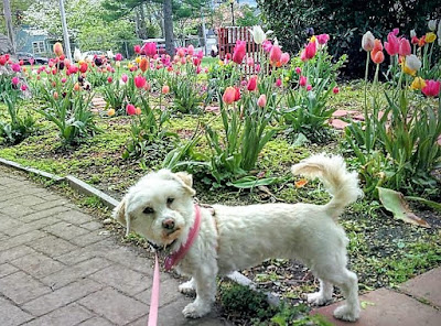 My dog Phoebe enjoying the tulips at the park!
