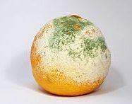 Kapang (Mold)