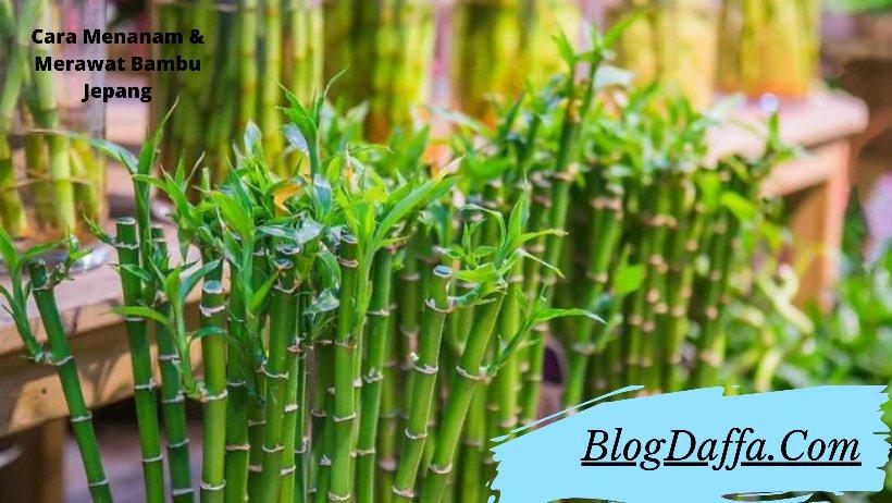 Tips Menanam bambu Jepang di rumah
