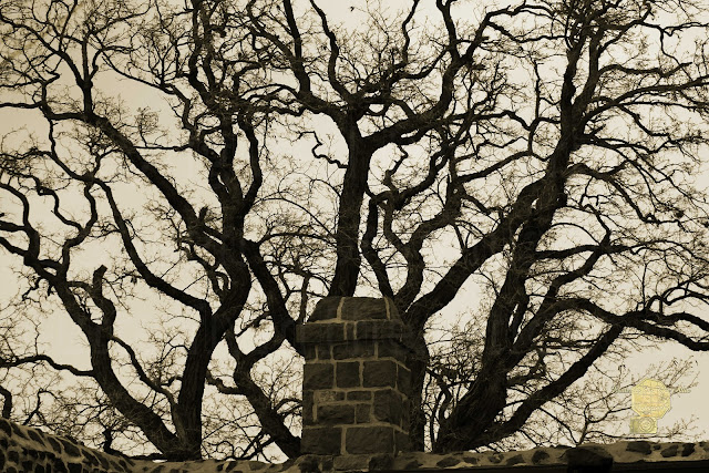 Intimidating Tree Above Fort Wall In Sepia Fine Art Photography