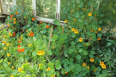 Nasturtiums grown organically for culinary use