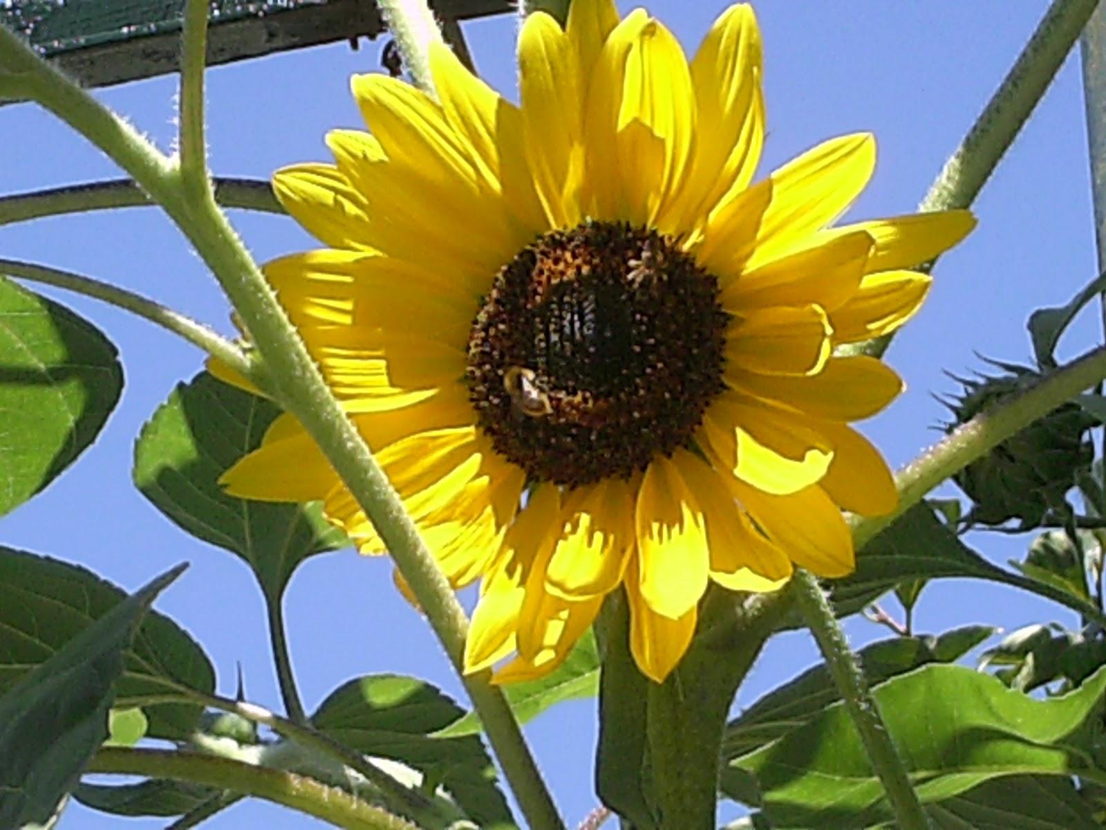 Fiori piante e giardini del mondo il girasole il colore - Il sole nel giardino ...