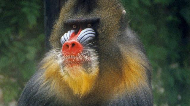 Monyet dukun