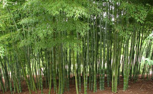 http://tipspetani.blogspot.com/2017/09/cara-pembudidayaan-tanaman-bambu.html