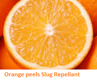 Orange citrus fruit peel  slug repelleant - Oranges citrus fruit peel (Santre Ke Chilke)