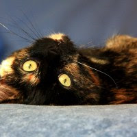 Allie the tortoiseshell cat relaxing on the bed