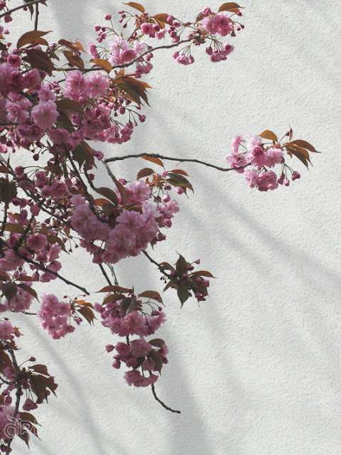 pink blossoms against a white wall