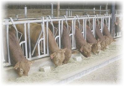 63cbde2c29 I bovini e gli ovini sono ruminanti. Il loro stomaco è costituito da  quattro camere (una delle quali è il rumine) che consentono la digestione  della ...