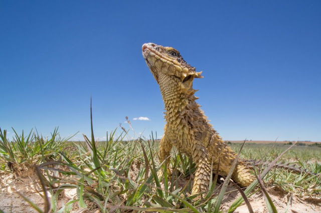 Habitat destruction and poaching is threatening the Sungazer lizard