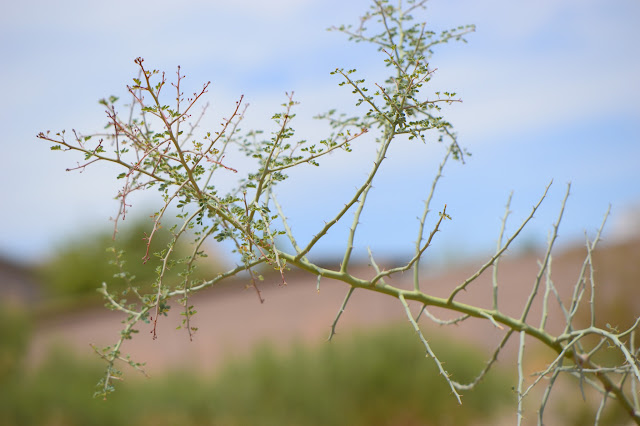 tree watching meme, parkinsonia florida, blue palo verde, desert tree