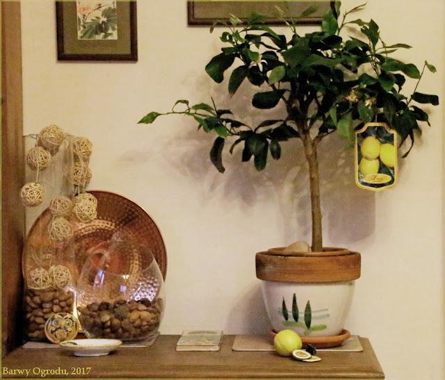 drzewko cytrynowe