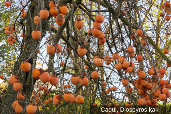 Imagen del árbol kaki, Diospyros kaki, con sus frutos para cosechar