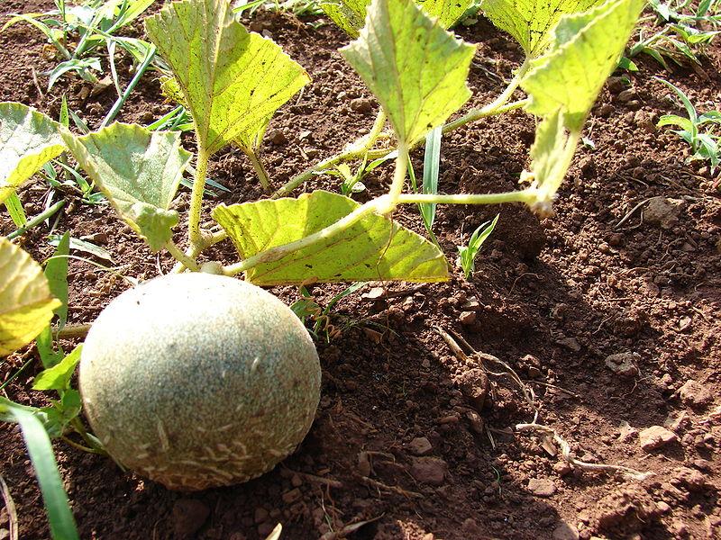 cultiva melon