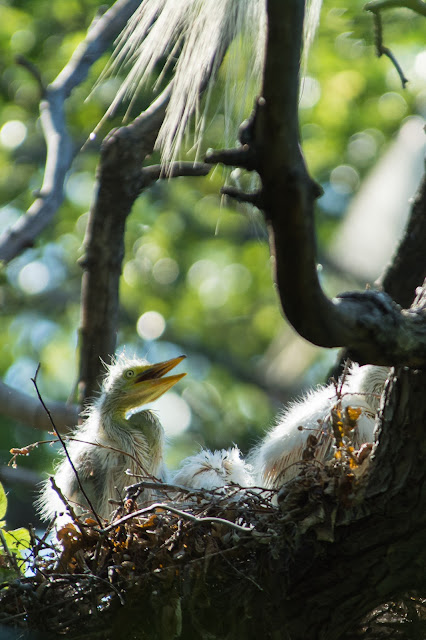 Great Egret Chick, UT Southwestern Medical Center Rookery