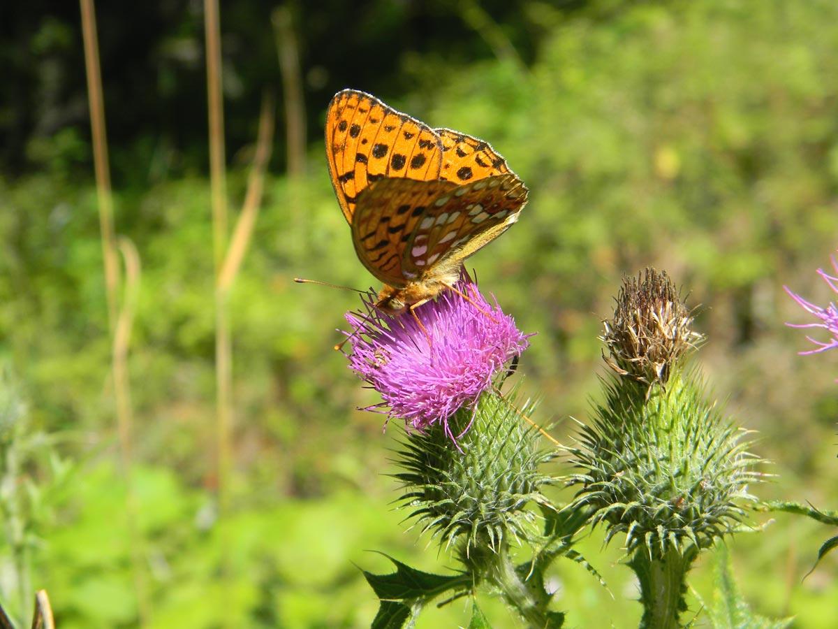 Papillon Valloire été