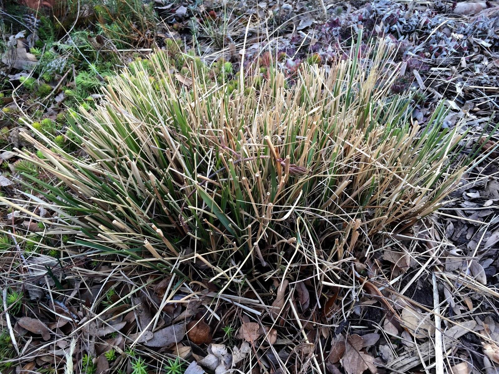 Jeffco gardener not so fast gardening tips for late winter for Quick growing ornamental grasses