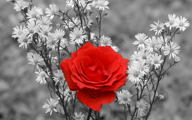 red and white rose wallpaper - photo #7