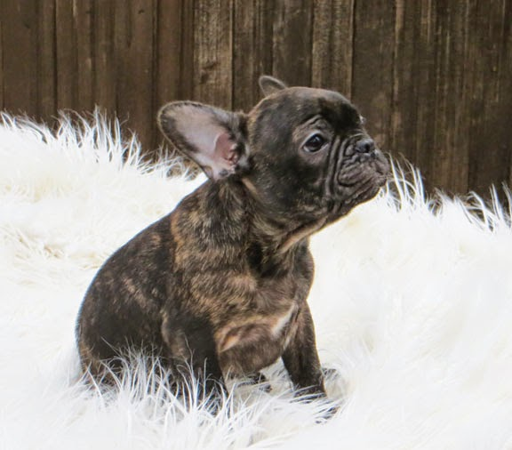 Brindle French Bulldog Puppy Picture ~ Picture of Puppies