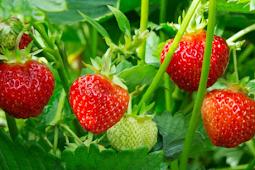 Cara Mudah Menanam Strawberry di Kebun yang Praktis Terbaru