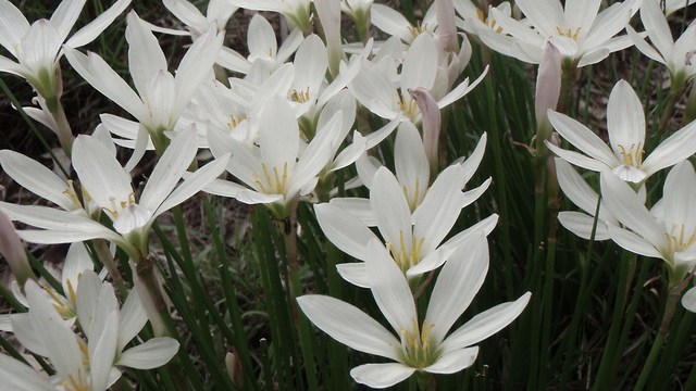 Flowers in hunters dream bloodborne wiki flower flower mightylinksfo Gallery
