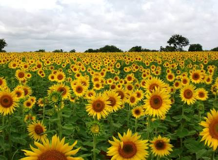sunflower facts in hindi