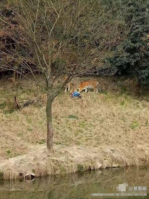 A Chinese Dad Was Attacked by Tigers After Climbing Zoo Fence To Avoid Paying Entrance!